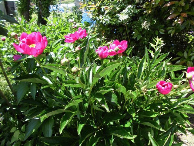 ★。★「芍薬」がいい感じに咲いてます・・・美蔵