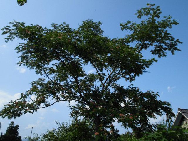 ★。★今週は「ねむの木の花」が見ごろです・・・美蔵