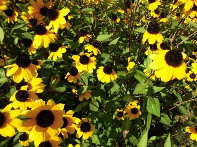 ★。★いまだに咲き続き、次はコスモスです・・・美蔵