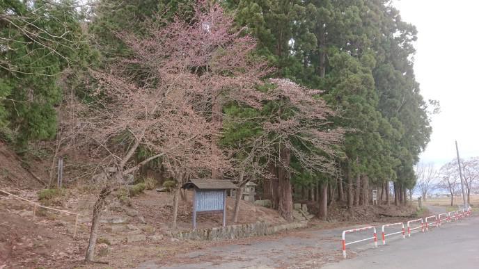 ★。★犬の宮・猫の宮の桜は・・・美蔵