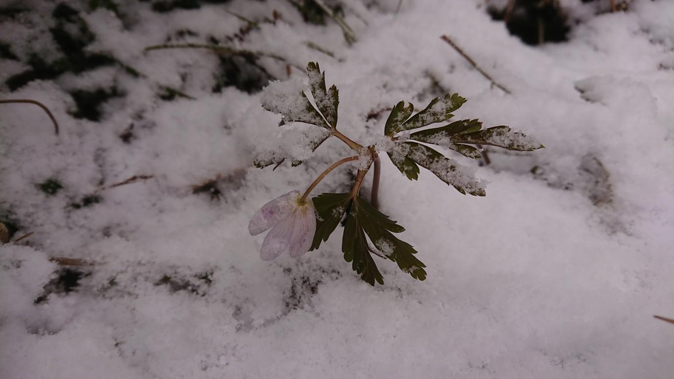 ★。★4月最初の営業日は雪から始まり・・・美蔵