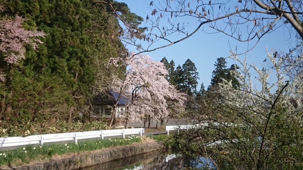 ★。★真っ青な空に桜・・・美蔵