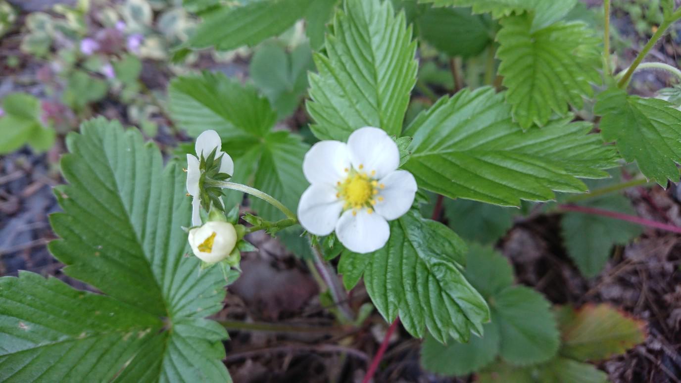 ★。★今は【ワイルドストロベリー】の花が咲いております・・・美蔵