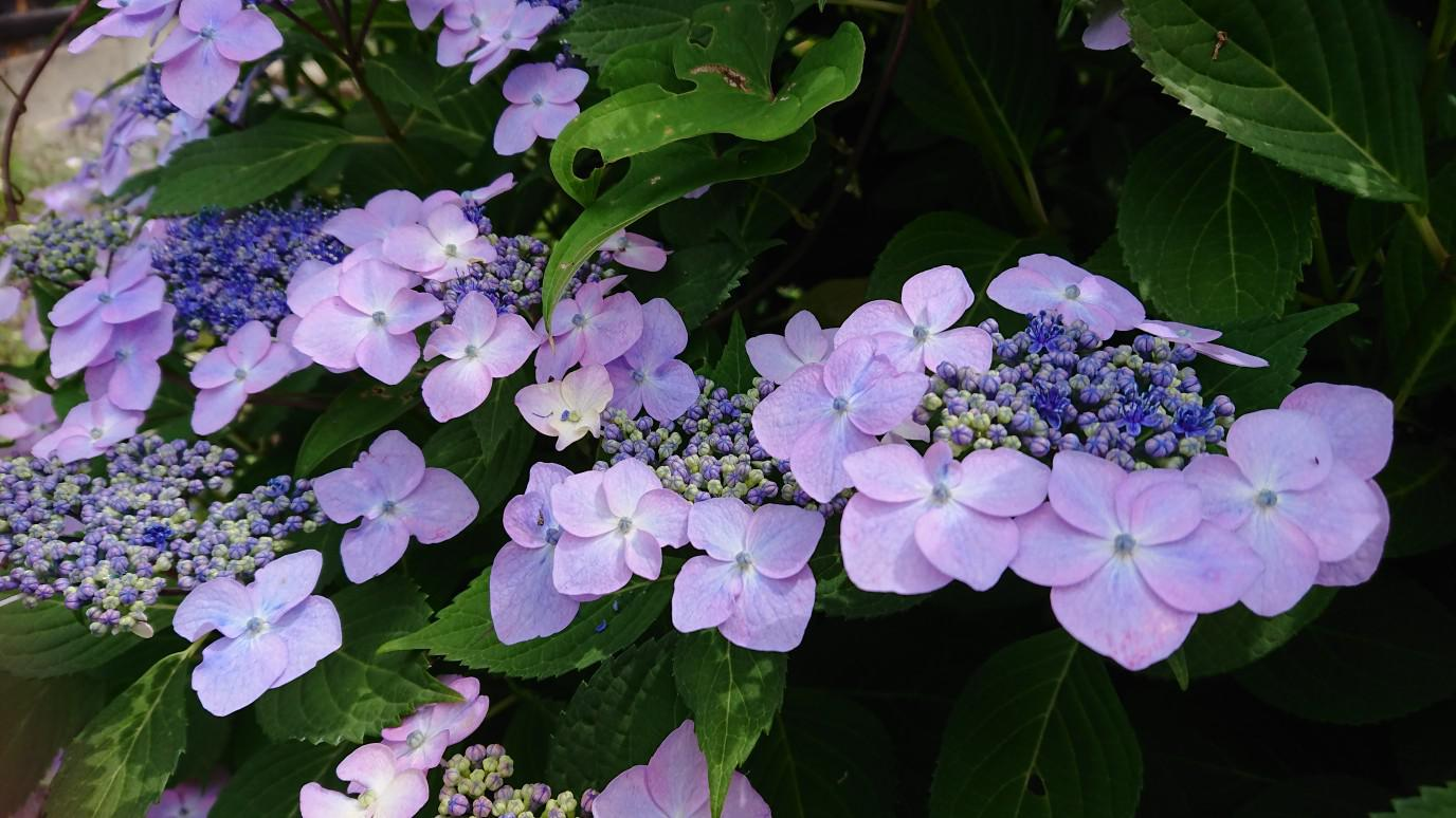★。★今週は【紫陽花】が見ごろです・・・美蔵