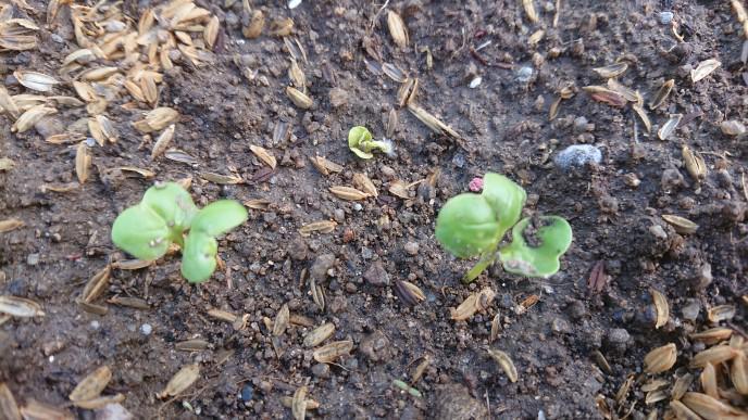 ★。★秋野菜が順調に発芽しております・・・美蔵