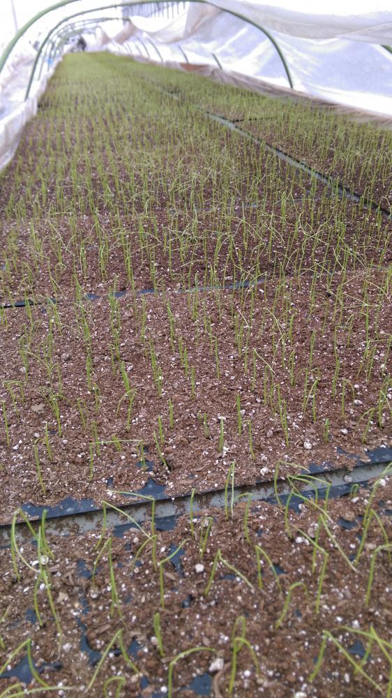 春植え玉ねぎの播種!