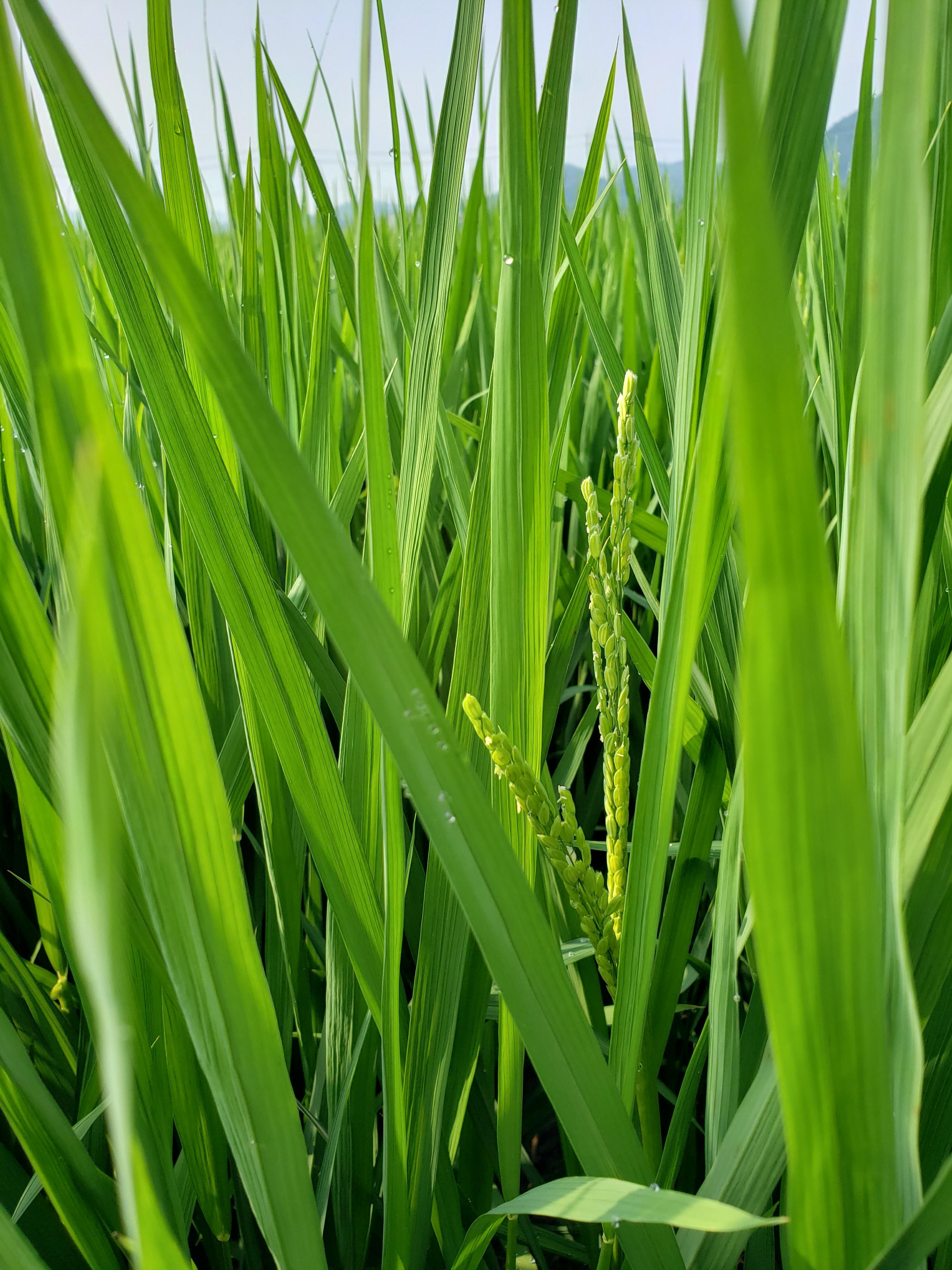 稲の登熟が進んで来ました。