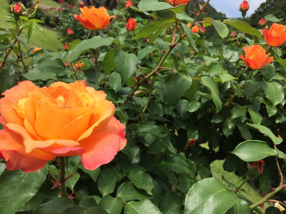 6月6日 東沢バラ公園開花状況