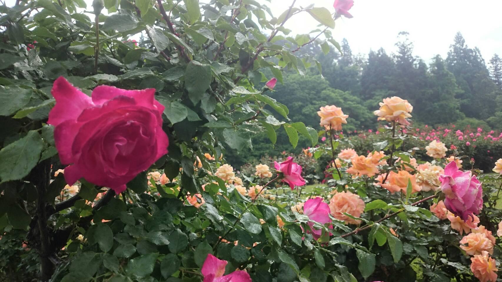 6月8日 東沢バラ公園開花状況