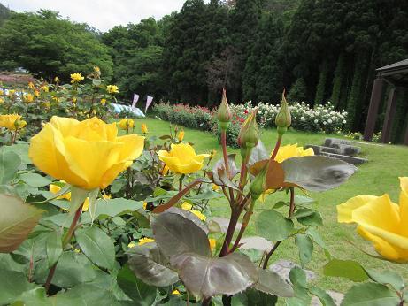 6月13日 東沢バラ公園バラの開花状況