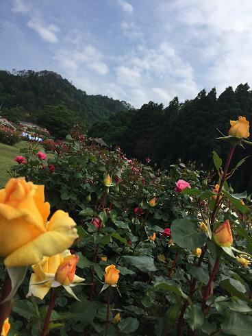 6月14日 東沢バラ公園開花状況