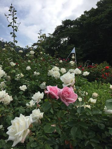 6月15日 東沢バラ公園開花状況