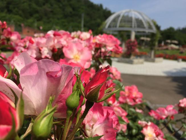 6月20日 東沢バラ公園開花状況