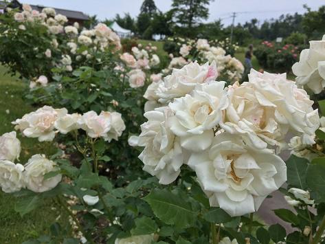 6月23日 東沢バラ公園開花状況