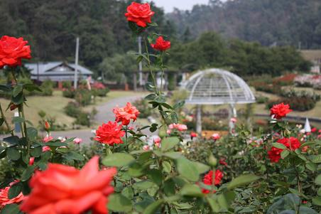 Autumn rose festival is held: Image