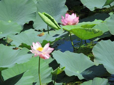 湯沢沼の蓮の花が満開です