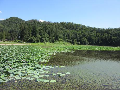Lotuses of Yuzawa-numa Pond are in full bloom