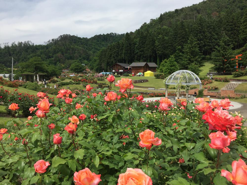 The June 6 Higashizawa Rose Park flowering situation