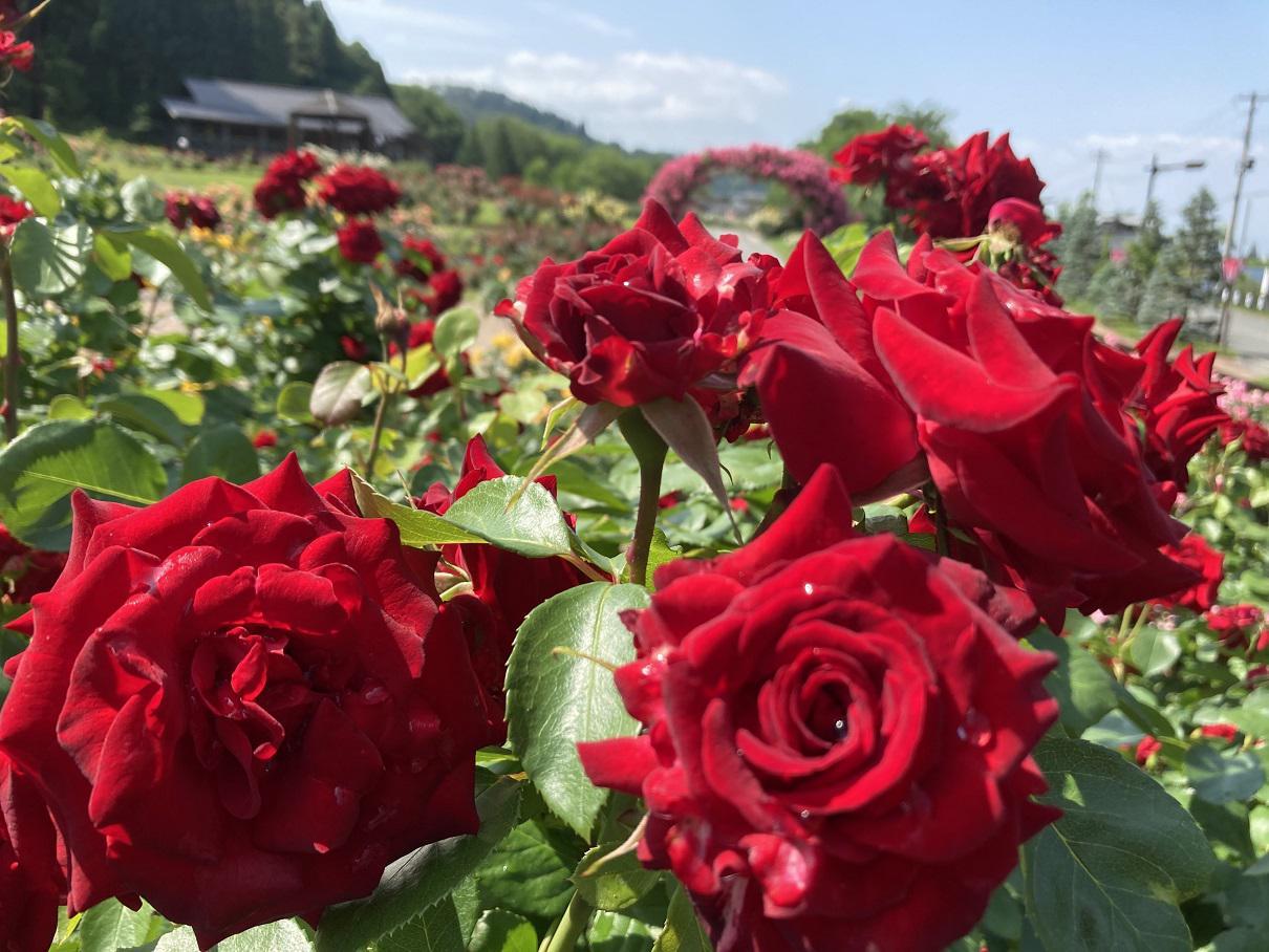 6月15日东泽蔷薇公园开花状况