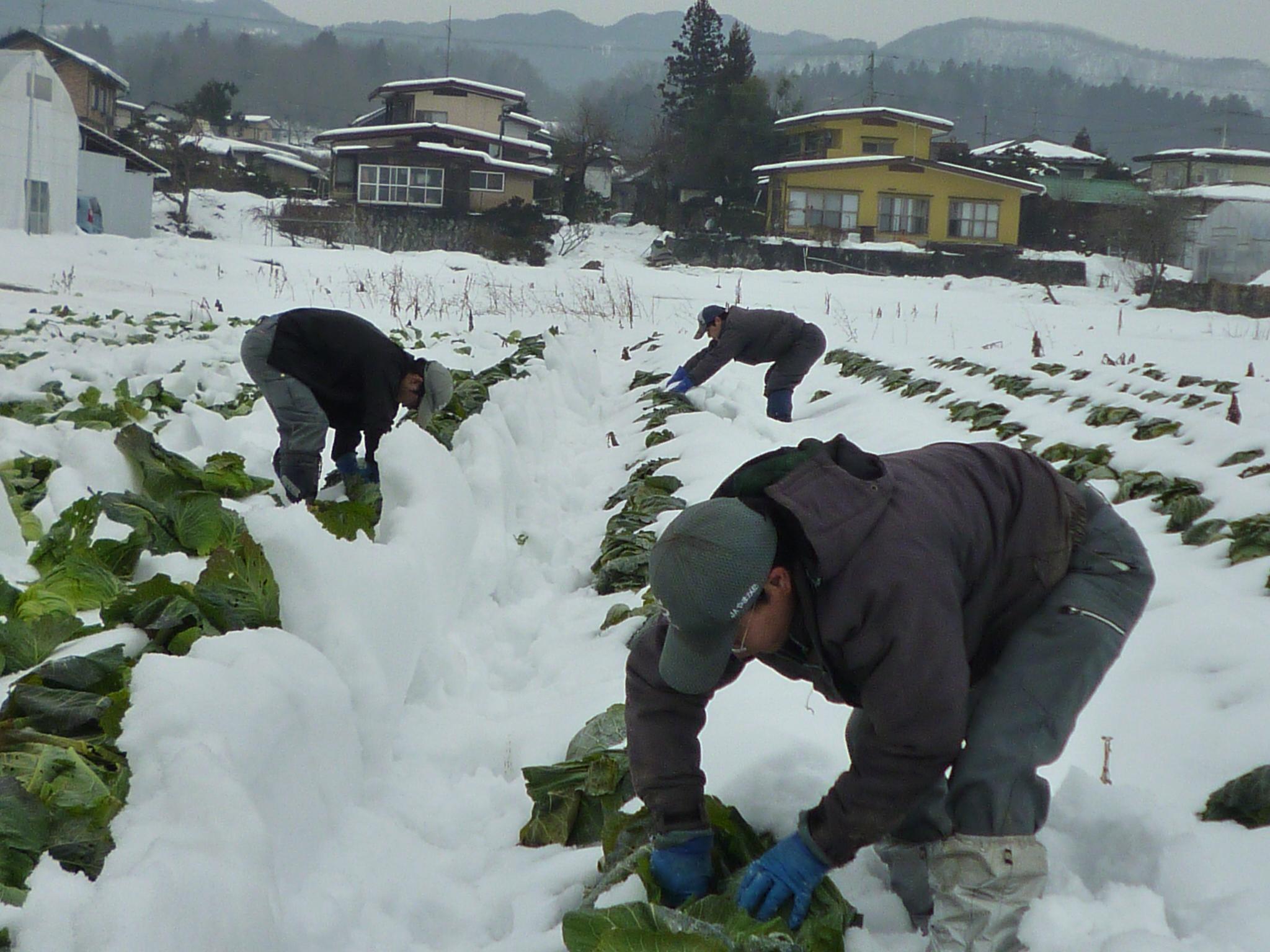 雪下キャベツ収穫☆