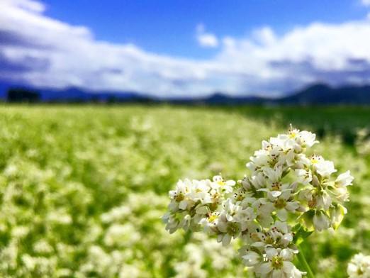 そば花まつり、今年は中止です…((>ω<。))):画像
