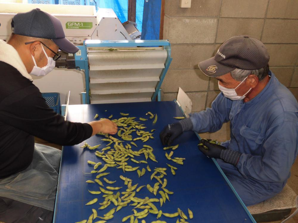 本日も枝豆の選別作業やってます!:画像