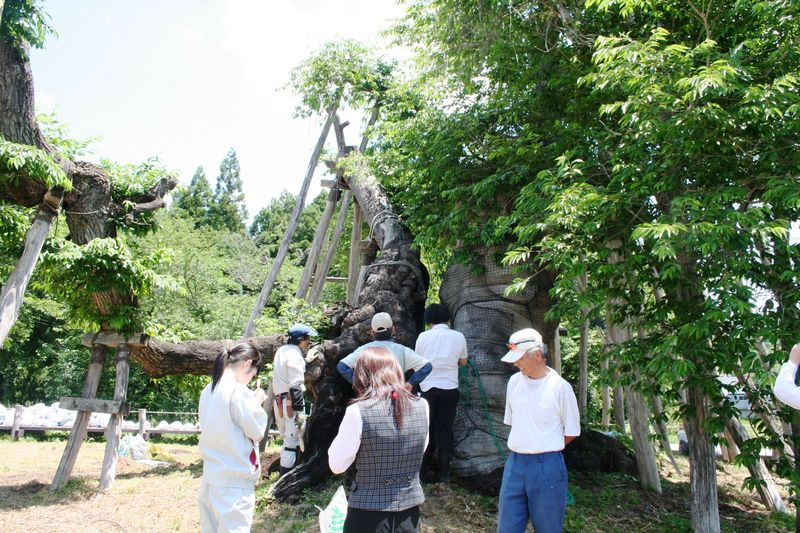 伊佐沢の久保桜樹勢回復作業(6/13):画像