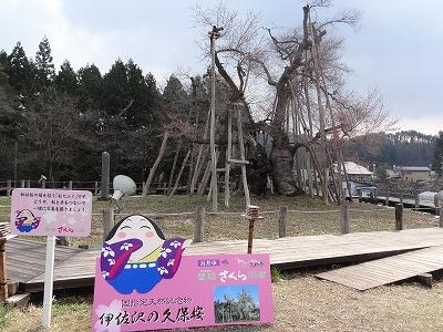 '13伊佐沢の久保桜開花情報(4月22日):画像