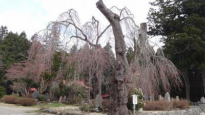 '13白兎(しろうさぎ)のしだれ桜開花情報(4月24日):画像