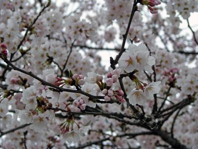 「【桜!サクラ!さくらんらん!】」の画像