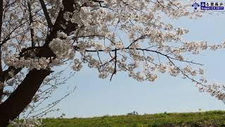 長井の『春』