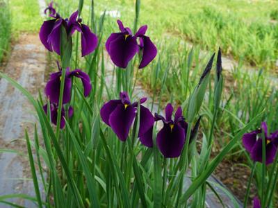 [the present Iris Park] : Image
