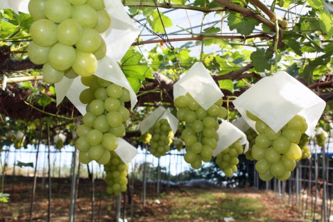 [autumn fruit ♪ Isazawa grape] : Image