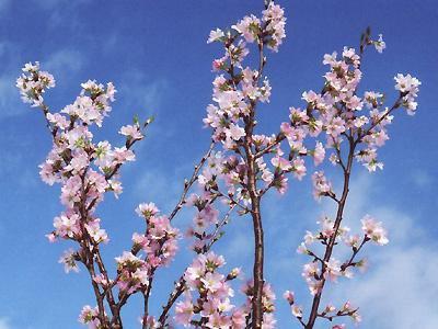 【ひと足早い桜を..≪啓翁桜≫】