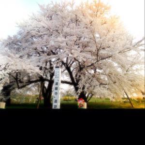 お達磨の桜売店♪:画像