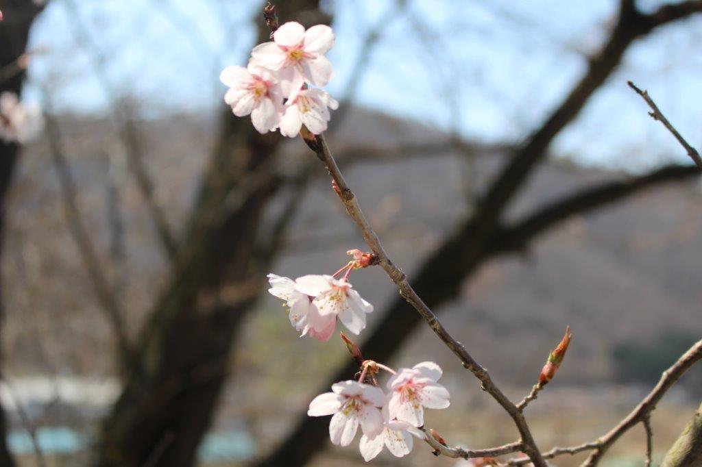 中川地区桜情報 Part3