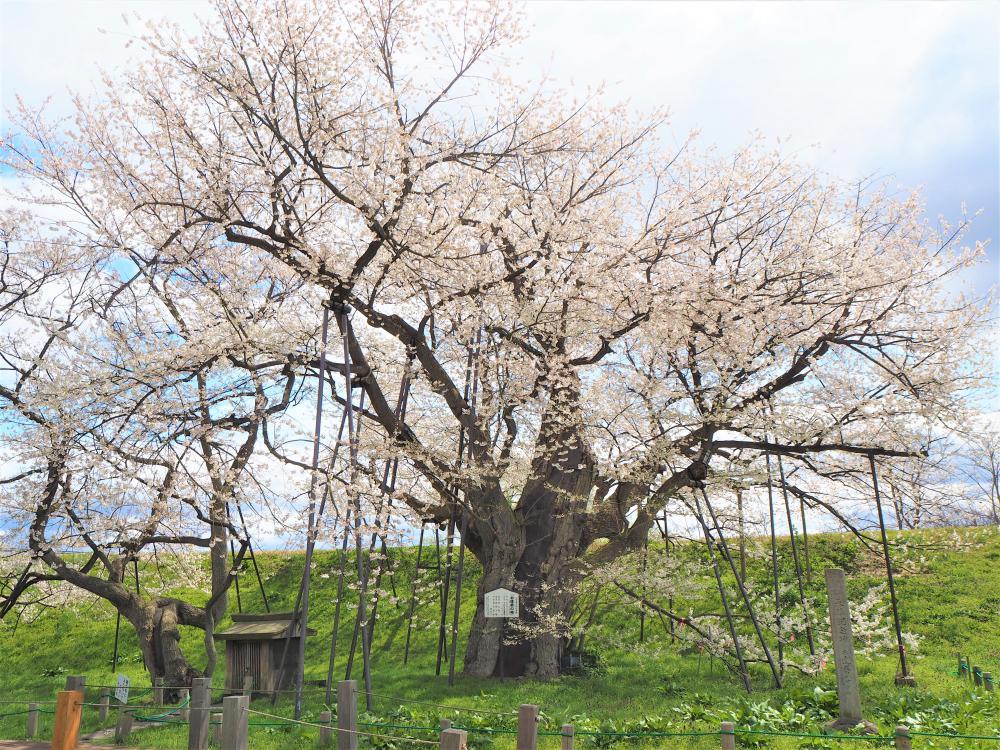 Odaruma-no-Sakura Festival: Image