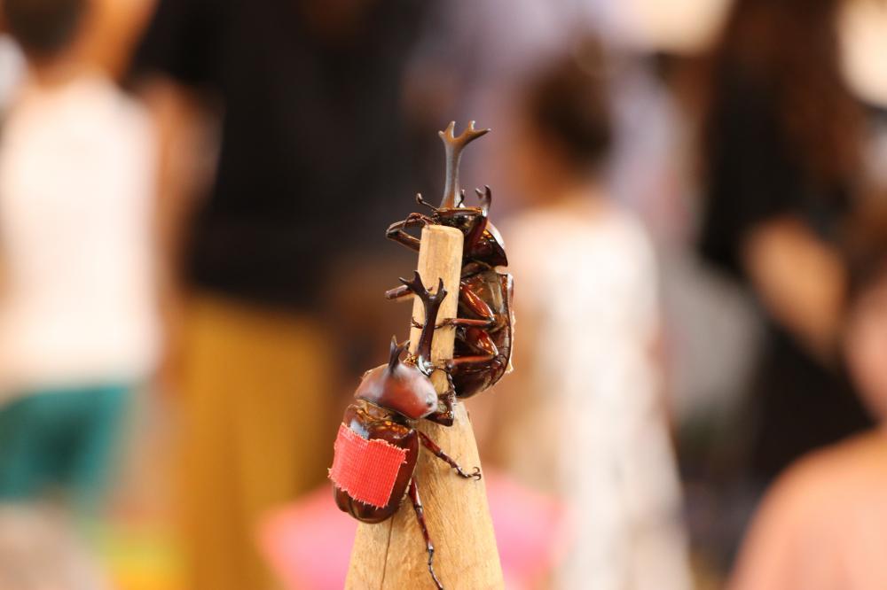 第29回全国かぶと虫相撲大会参加者募集!!:画像