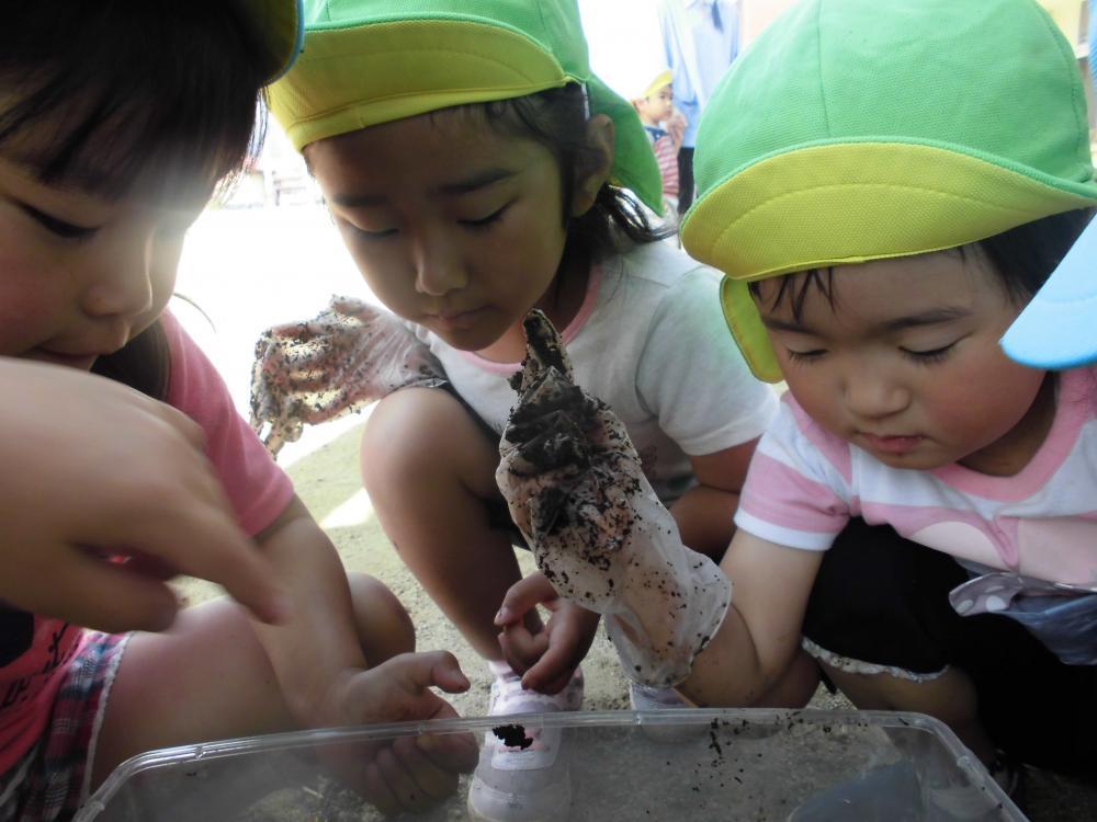 カブトムシの幼虫、育ててるよ