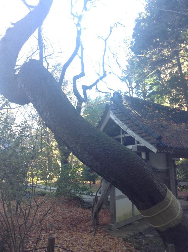 龍のような木