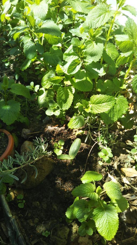 ひょうたんのふたばを地植えにしました。