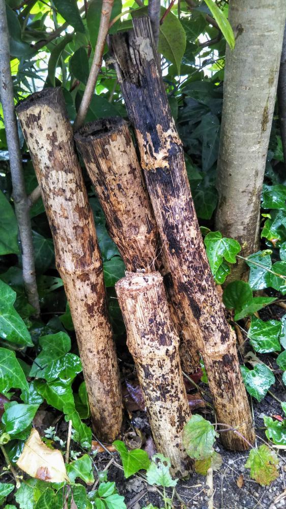 庭で見つけた、昨年の皇帝ダリアの茎