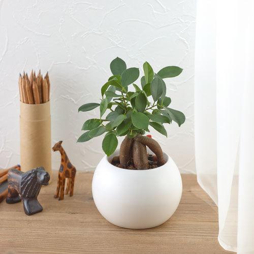観葉植物vol.3 ガジュマルの木:画像