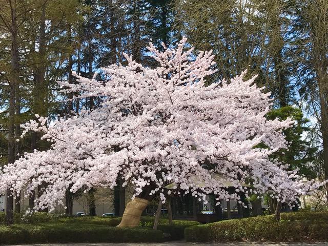 春満開 ♪