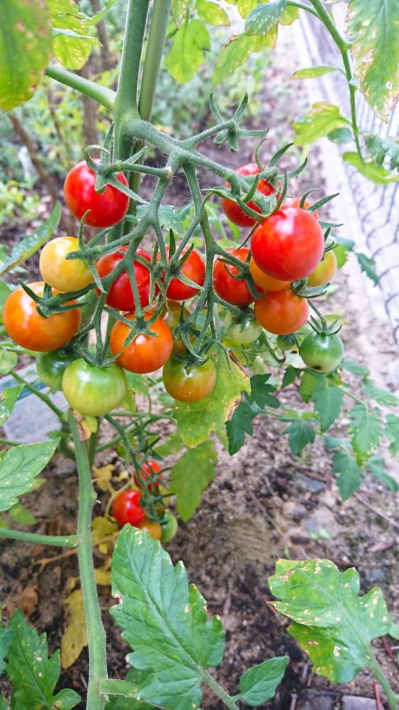 モデルハウスのミニトマト収穫祭:画像
