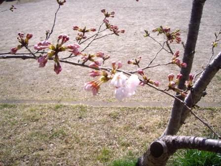 2013/04/13 20:06/わが町 長命ヶ丘も桜が咲き始めています