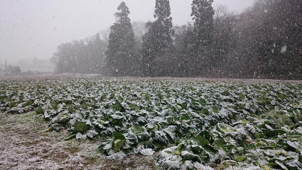雪下キャベツ!