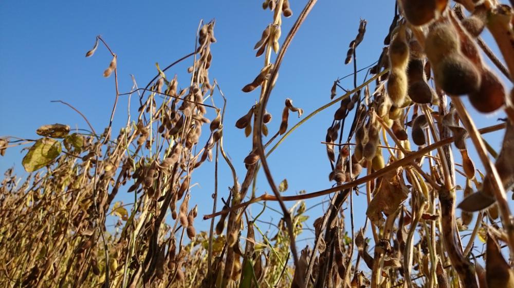 大豆まもなく収穫です!