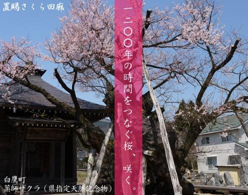 「置賜さくら回廊」各地の開花状況(4月25日現在):画像