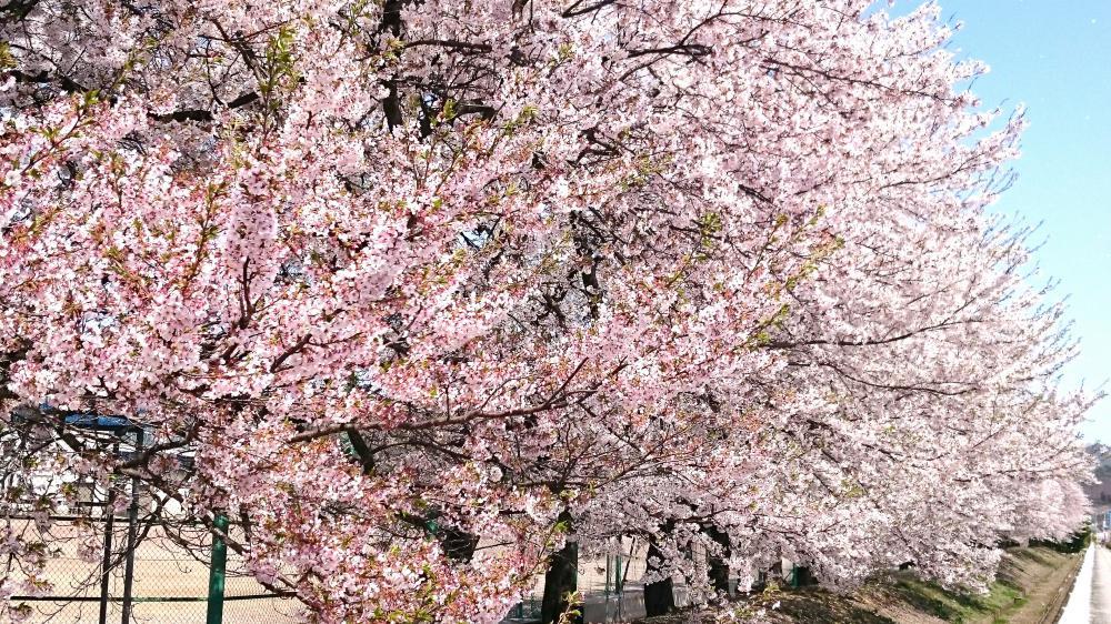 満開の桜:画像